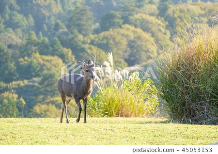 와카 쿠사 산의 사슴 45053153