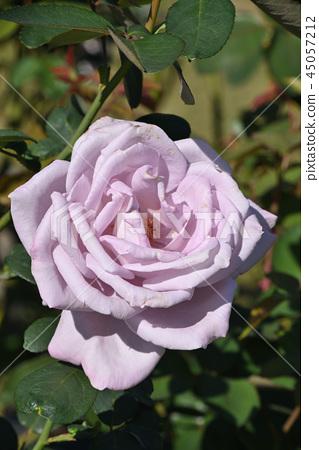 玫瑰(藍月亮) 45057212