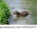 Eurasian Otter (Lutra lutra) in natural habitat 45065875