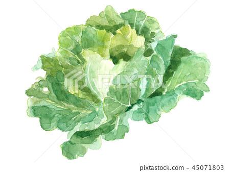 甘藍 包菜 椰菜 45071803