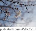 Cherry blossom / cherry blossom 45072513