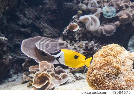 觀賞魚 45084679