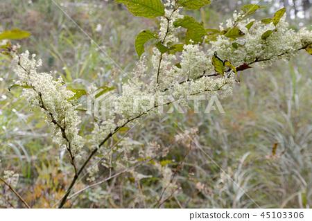 Itadori flower 45103306