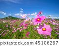 시카 쵸 코스모스 밭 45106297