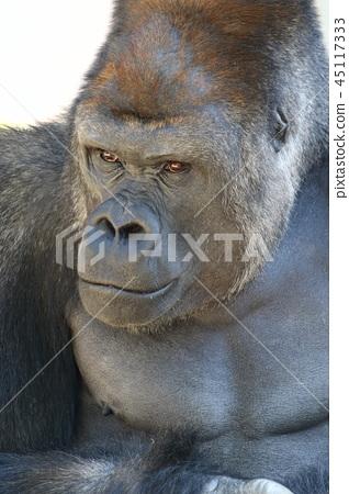 西大猩猩 45117333