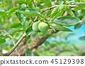 Persimmon fruit of early summer 45129398