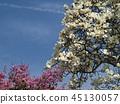 ดอกซากุระบาน,ซากุระบาน,ท้องฟ้าเป็นสีฟ้า 45130057