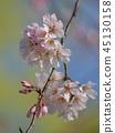 ฤดูใบไม้ผลิ,ดอกซากุระบาน,ซากุระบาน 45130158