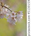 ฤดูใบไม้ผลิ,ดอกซากุระบาน,ซากุระบาน 45130159