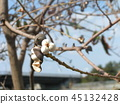 chinese tallow tree, fruit, white 45132428