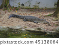 alligator, crocodile, crocodilian 45138064