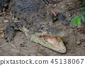 alligator, crocodile, crocodilian 45138067