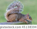 Wild Squirrel Poses for the Camera in Florida 45138394