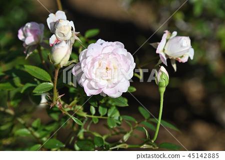 Rose (Cinderella) 45142885