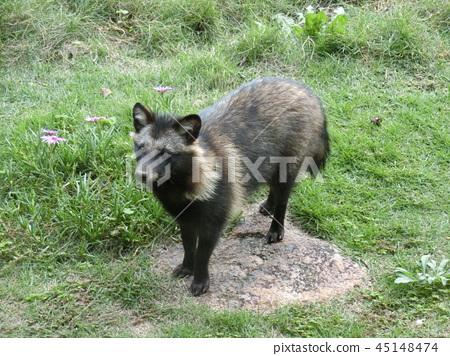 Raccoon dog raccoon dog 45148474