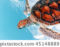 Baby turtle in the water, Mexico 45148889