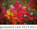 red, maple, leaves 45151621