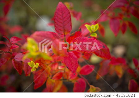 Red leaves in the garden at autumn 45151621