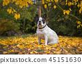 autumn, dog, fall 45151630