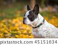 autumn, dog, fall 45151634