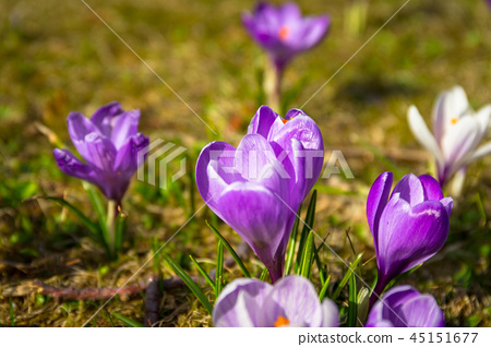 Blossom field of crocus flowers at spring 45151677