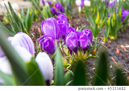 Blossom field of crocus flowers at spring 45151682
