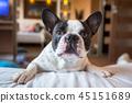 dog, bulldog, portrait 45151689