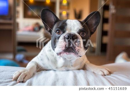 Adorable french bulldog wanna go to bed 45151689