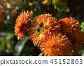 Bright colored chrysanthemum flowers  45152863