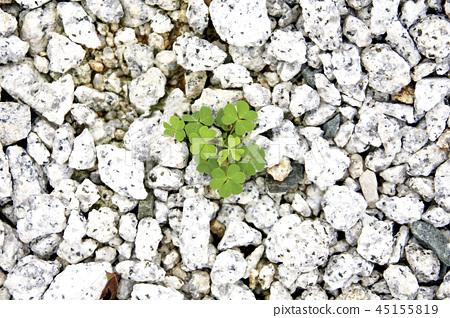 Four-leaf clover 45155819