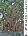 training tree roots over years to knit together. 45161185