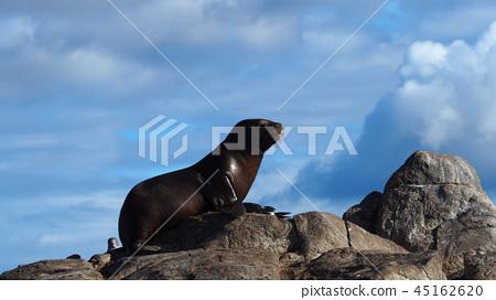 A Sea Lion, Beagle Channel 45162620