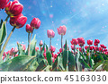Beautiful red tulip field in the Netherlands 45163030