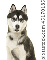 Portrait of a husky dog looking at the camera 45170185