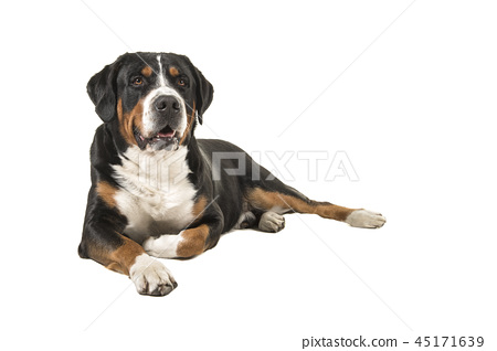 Great swiss mountain dog lying down on the floor 45171639