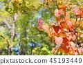有莢蓮屬的植物紅色種子的秋天公園 45193449