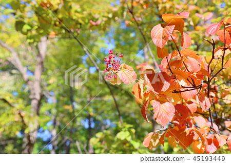 가을의 공원 가막살의 붉은 열매 45193449