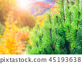 Pine leaf with sunlight and autumn forest 45193638