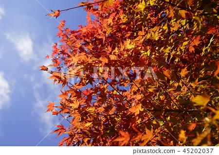 Hyogo Prefecture Mita City Mother and Child Autumn Momiji Autumn leaves 45202037