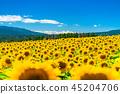 Sunflower, summer image 45204706