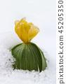 Winter aconite flowering in the snow 45205350