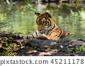 Asian tiger in tropical forest 45211178
