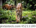 Asian tiger in tropical forest 45211180