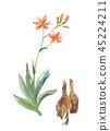 Koi Fan Hiogi flowers and roots 45224211