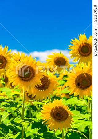 해바라기 여름 이미지 45238029