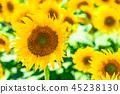 ดอกทานตะวันภาพฤดูร้อน 45238130