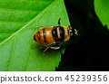 macro of hoverfly in nature garden 45239356