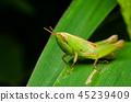 grasshopper on green grass 45239409