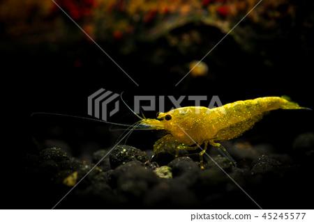 Yellow neocaridina shrimp water pet aquarium home 45245577