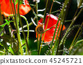 poppy, red, flower 45245721